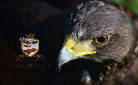 Up to 51% off Falconry Experiences
